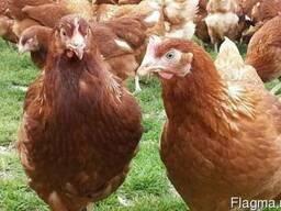 Куры несушки Леггорн и Ломан Браун. Доставка Бесплатно!!! - фото 5