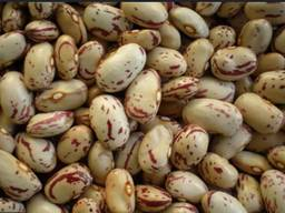 Квасоля на насіння