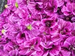 Квіти мальви мавританської