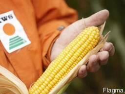 KWS , КВС , семена кукурузы Каталог гибридов, Цены