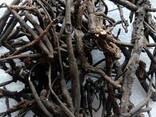 Лапчатка белая(пятепал корень) - фото 1