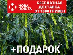 Лапина ясенелистная семена (20 шт) крылоорешник или. ..