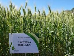 Ластивка Одесская пшеница озимая семена устойчива к болезням