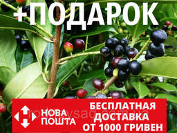 Лавровишня лекарственная семена (20 шт) (Prúnus. ..