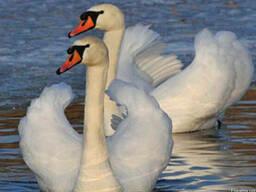 Лебідь-шипун – птах чистоти і благородства