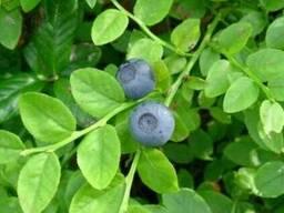 Листья черники 50 грамм