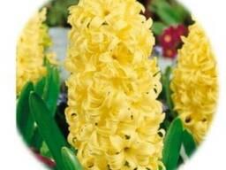 Луковичные цветы оптом - Тюльпаны, Гиацинты, Крокусы, Ирисы