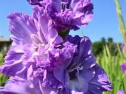 Луковицы гладиолусов, лилий, георгин