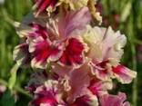 Луковицы гладиолусов - фото 3
