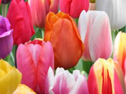 Детки луковицы тюльпана