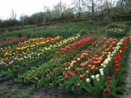 Луковицы тюльпанов месь сортов 100 шт