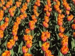 Луковицы тюльпанов Форготтен дримз