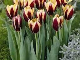 Луковицы тюльпанов Gavota. Голландия.