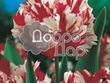Луковицы тюльпанов, нарцысов, лилий на выгонку, оптом - фото 4