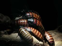 Мадагаскарский таракан (Princia vanwerebeki)