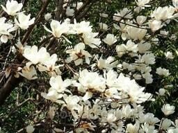 Магнолия обратнояйцевидная семена 10 шт (Magnolia. .. - фото 3
