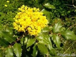 Магония вечнозеленая падуболистная (орегонский виноград)