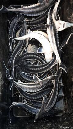 Мальки осетра ( белуги)