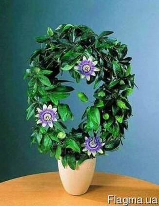 Маракуйя - пышная зелень, роскошные цветы, ароматные плоды.