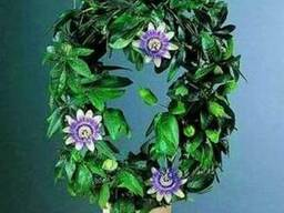 Маракуйя - пышная зелень, роскошные цветы,ароматные плоды.