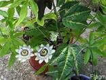 Маракуйя - пышная зелень, роскошные цветы, ароматные плоды. - фото 3