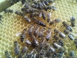 Матка Карпатка 2021 Плідні Бджоломатки Пчеломатки, бджоли