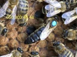 Матка Карпатка 2021, бджоломатка, (Бджолопакети 2021)
