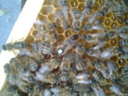 Матки бджоломатки карніка пешец Українська степова.