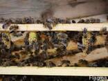Матки Карника Карпатка 2020 Пчеломатки Бджоломатки - фото 3