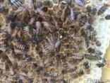Бджоломатки Карника, Карпатка 2020 Пчеломатки Пчелиные Матки - фото 5