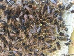 Матки Карпатка 2019 Пчеломатки Пчелинные Матки Бджоломатки - фото 5