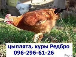 Месячные подрощенные цыплята Редбро. сезон 2019, Одесса