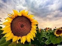 """Метеор КЛ (А-Н) - (May Agro Seed) (Турция) """"Clearfield"""""""