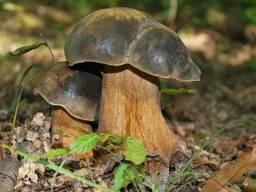 Мицелий Белого гриба тёмно-бронзового, 100г.