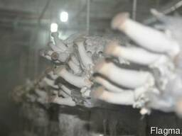 Мицелий эринги - мицелий вешенки королевской