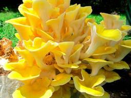 Мицелий лимонно-желтой вешенки - семена грибов почтой