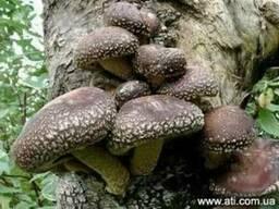 Мицелий ( семена грибов, рассада грибов, грибница ) шиитаке
