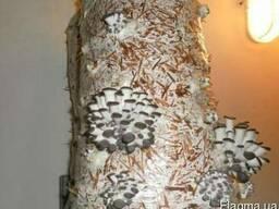 Мицелий (семена) грибов Вешенка
