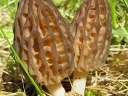 Мицелий Сморчок обыкновенный для выращивания грибов