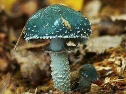 Мицелий Строфарии сине-зелёной, Stropharia aeruginosa 100г.
