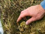 Мицелий трюфелей - грибница (семена) грибов от производителя - фото 4