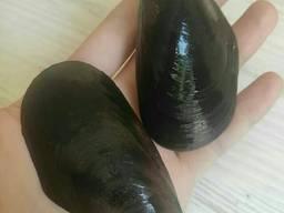 Мидии черноморские