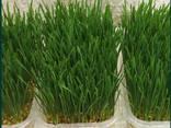 Микрозелень, микрогрин - фото 2