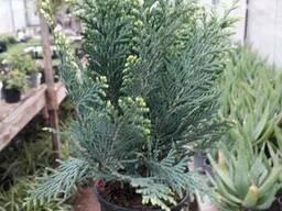 Многолетние хвойные растения