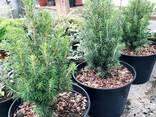 Многолетние хвойные растения - фото 2