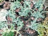 Многолетние хвойные растения - фото 4