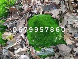 Мох лісовий темно-зелений