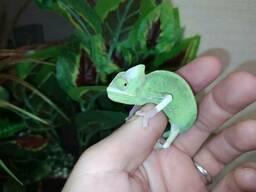 Морфа Пібольт. Барвистий хамелеон. Ручна ящірка.