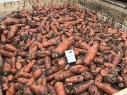 Морковь на переработку.