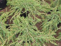 Можжевельник обыкновенный Green Carpet (Грин Карпет), 3л...